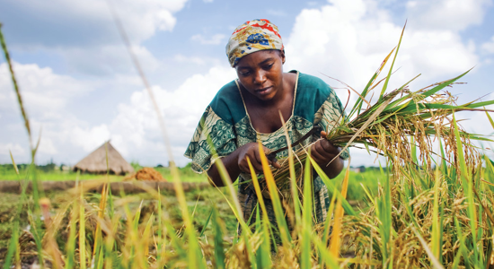 A female outgrower picking rice in Nigeria, Olam.