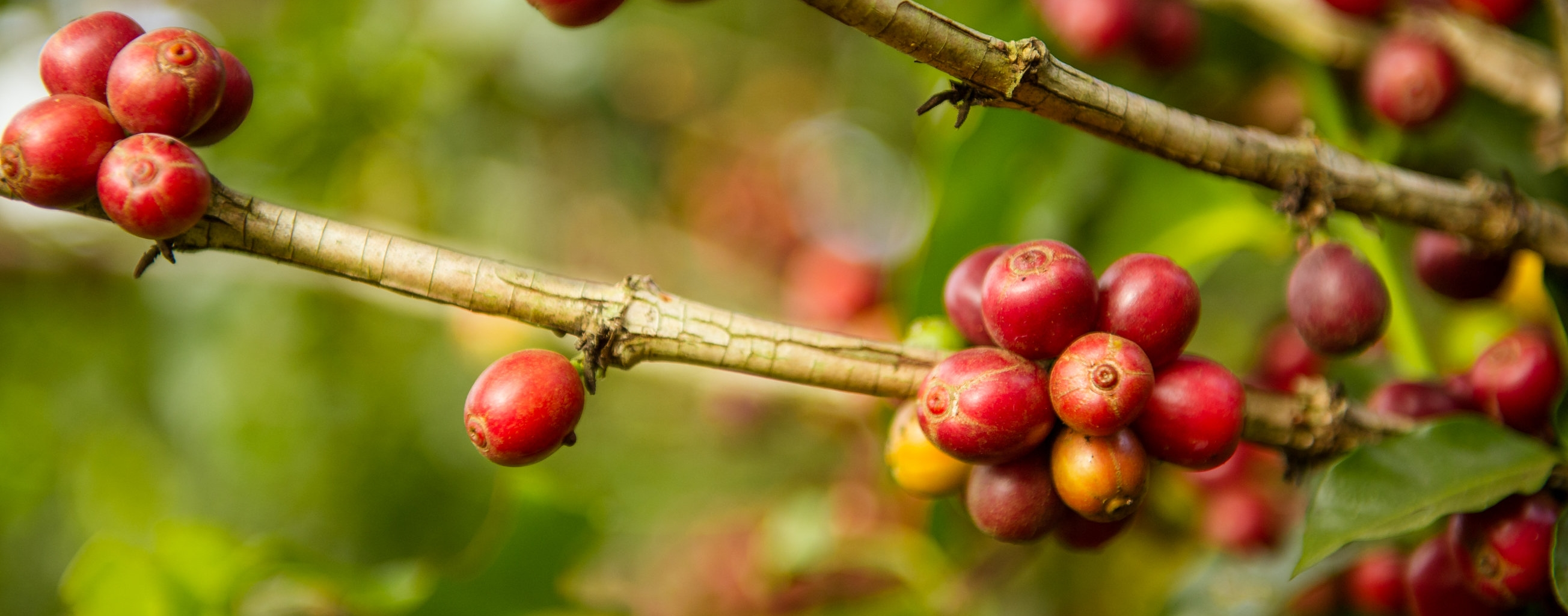 Ripe coffee cherries on a bush. Olam sources coffee in Kenya, Guatemala, Laos, Yemen and Burundi.