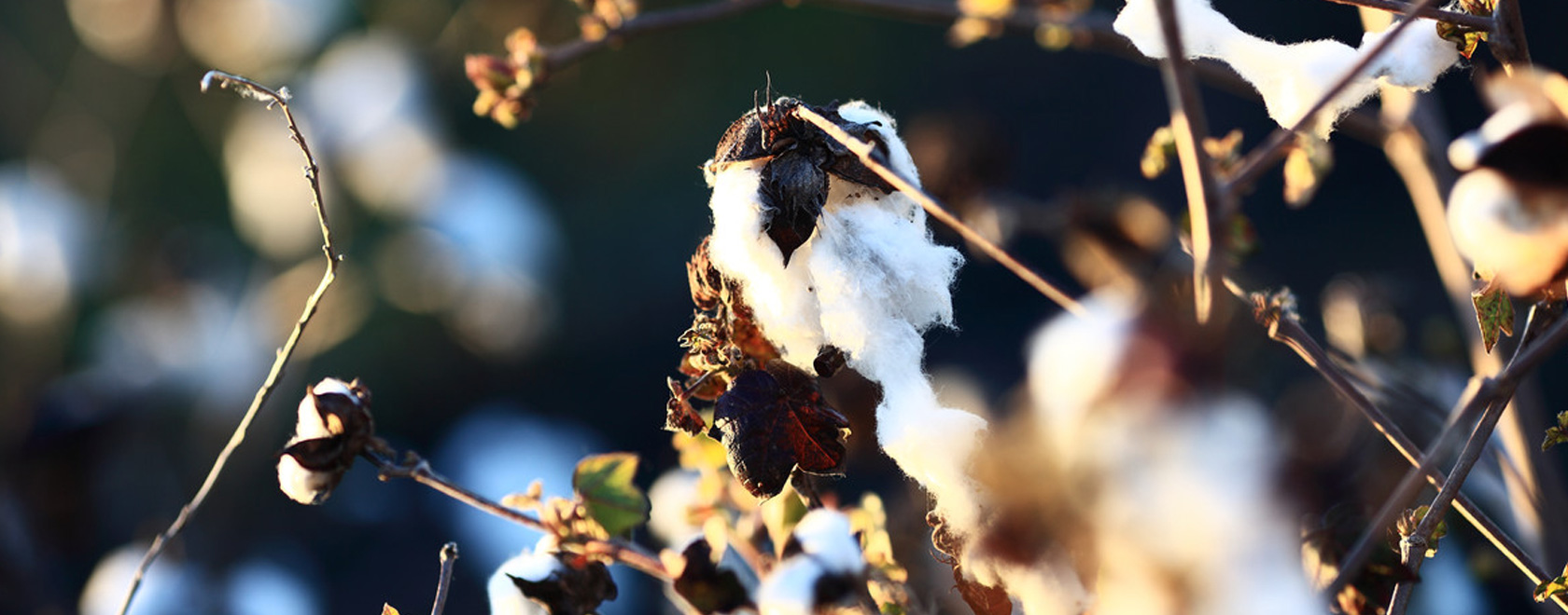 Close up of cotton balls ready to be harvested, Olam.