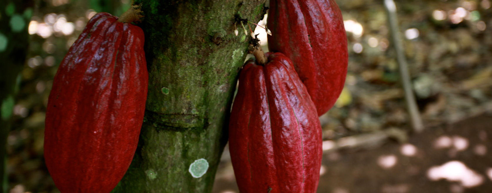 Three ripe red cocoa pods hanging from a tree, Olam.