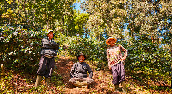 Three coffee pickers working on the hillside of the plantation, Indonesia, Olam