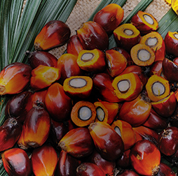 Fresh fruit bunch of palm, cut to show the source of palm oil. Olam's oils portfolio includes palm, soybean and sunflower.