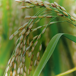 Mature rice crop, grown in India, Thailand, Vietnam and Nigeria, Olam.