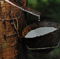 Latex dripping into the tapping bowl. Olam has a crumb rubber processing facility, third-party sourcing of natural rubber and a joint venture plantation in Gabon.