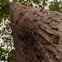 Looking up the trunk of a tall Teak tree. Olam wood business specialises in responsibly-sourced tropical timber.