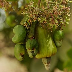 Unripe pear-shaped green cashew fruit, hanging from a branch with a spray of blossom at its base, and a cashew nut forming at the tip, Nigeria.