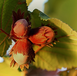 Three ripe hazelnuts in their husks ready to be picked, grown by Olam in Turkey and Georgia.