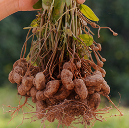 A handful of peanuts with their roots. Olam is present in each of the worlds peanut producing and exporting origins.
