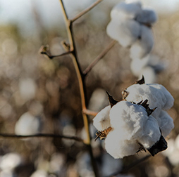 Cotton bolls growing in Mozambique, Olam sources from Africa, Asia, the Americas and Australia.