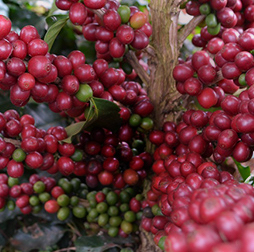 Ripe red coffee cherries growing on a bush, ready for harvesting, Guatemala, Olam.