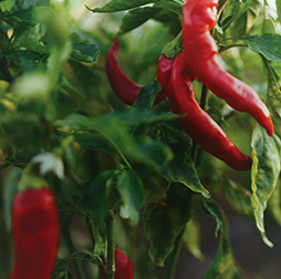 Fresh red chillies growing on a bush in India. Olam offers a range of varieties and ingredient forms.
