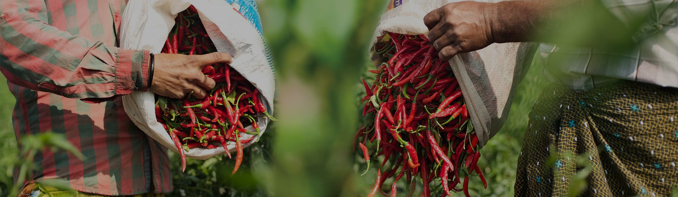 Two farmers emptying full sacks of hand picked chillies onto a mat, India, Olam.